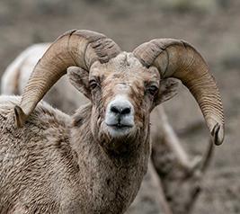 big horn sheep at jackson hole