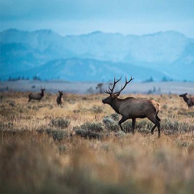elk in jackson hole